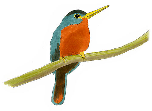 Sketch of a Yellow-billed Jacamar in the Amazon Jungle.