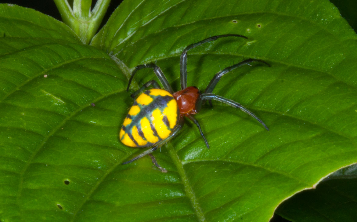 Yellow and black spider from Tambopata River region of Peru