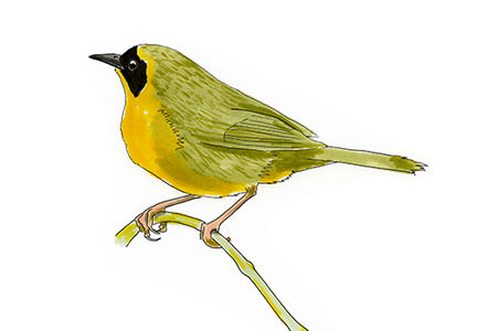Bahama Yellowthroat Bird Sketch